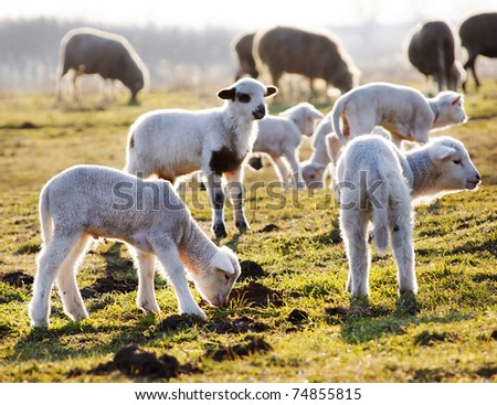 Lambs on a meadow - stock photo