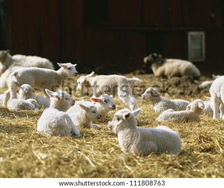 Lambs resting on hay