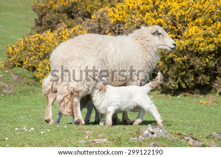 lambs suckling milk from the mother ewe - stock photo
