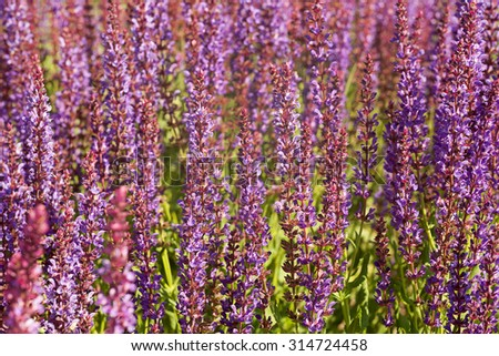 Lamiaceae family violet field herb background - stock photo