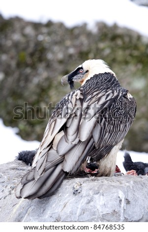 Lammergeier or Bearded Vulture-Eagle (Gypaetus barbatus), one of the rarest raptors in Europe. - stock photo