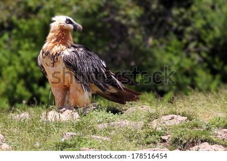 Lammergeier or Bearded Vulture (Gypaetus barbatus) - stock photo