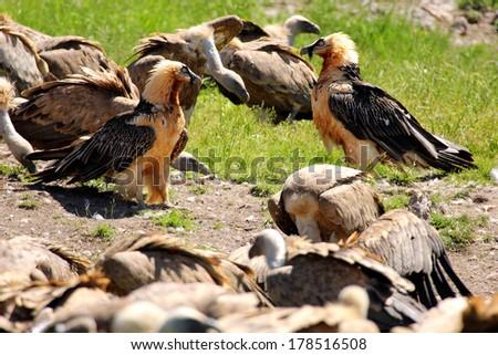 Lammergeier or Bearded Vulture (Gypaetus barbatus) amongst Griffon Vultures eating carrion - stock photo