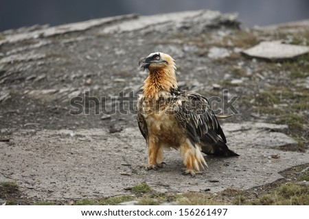 Lammergeier or lammergeyer or bearded vulture,  Gypaetus barbatus, at feeding station, Spain, winter