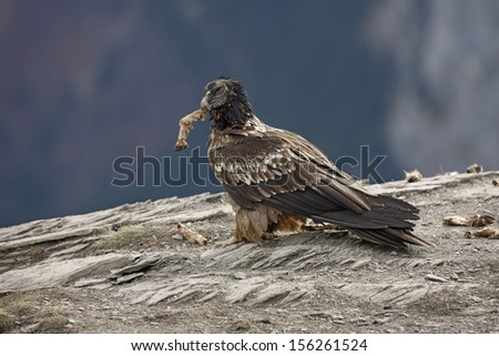 Lammergeier or lammergeyer or bearded vulture,  Gypaetus barbatus, juvenile at feeding station, Spain, winter              - stock photo