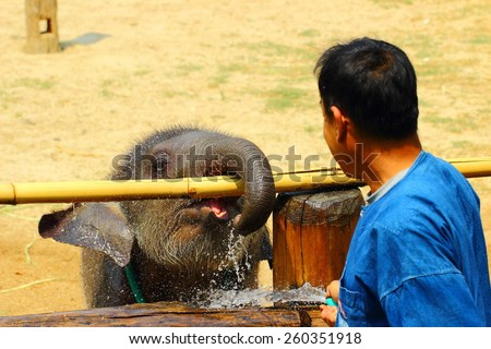"Lampang, Thailand -12 March 2015 Elephant Hospital Motherless calf was ""see come"" after being bitten elephant fell dead. The mahout ""boon tum"" closely supervised at all times."