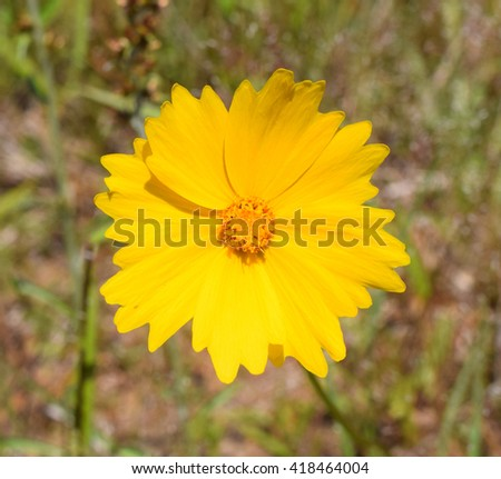 Lance-leaved coreopsis in Mississippi - stock photo