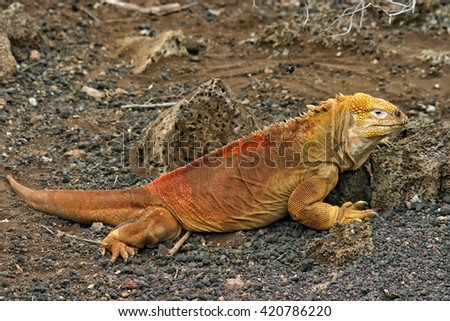 Land iguana (Conolophus subcristatus) at the Charles Darwin Research Station on Santa Cruz Island, Galapagos Islands, Ecuador