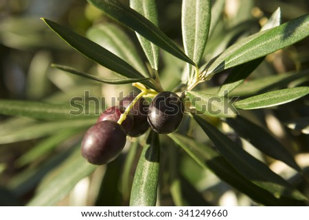 Land of the Mediterranean, with its olive harvest - stock photo