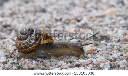 Land snail (Arianta arbustorum) on gravel road in Finland. - stock photo