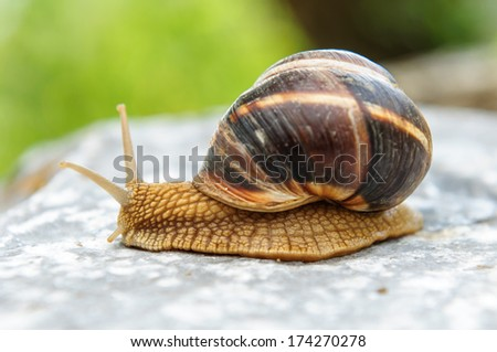 Land snail on a rock after a rain looking forward upwards