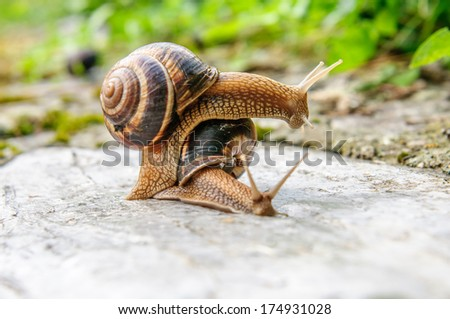 Land snails in love facing and plying each other on a rock after a rain in a nature