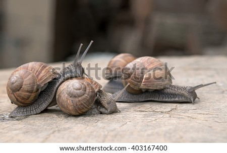 Land snails in love facing and plying each other on a wooden table