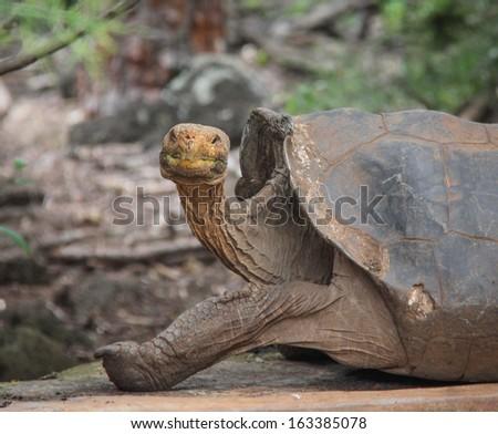 Land tortoise  at the Charles Darwin Research Station  on Santa Cruz Island, Galapagos, Ecuador - stock photo