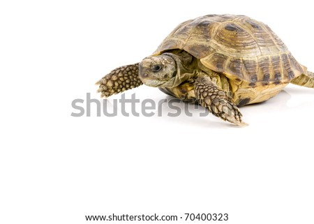 land tortoise crawl over a white background