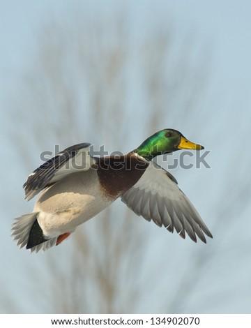 Landing Drake Mallard - stock photo