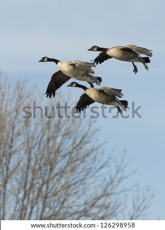 Landing Geese - stock photo