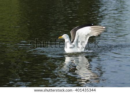 Landing Lesser Black-backed Gull. This Lesser Black-backed Gull lands on water - stock photo