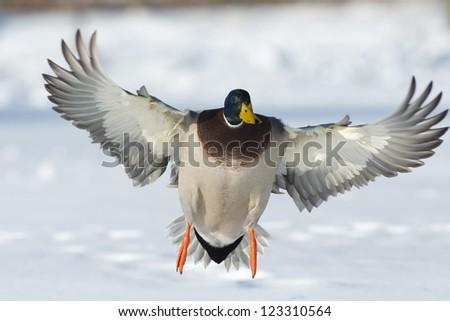 Landing Mallard - stock photo