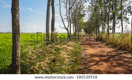 Landscape a dirt road between grassland. white reeds field. Blue sky.Chachoengsao,Thailand - stock photo