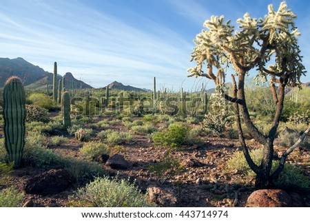 Landscape Arizona desert in the early morning. Organ Pipe Cactus National Monument,  US