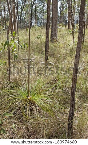 Landscape Australia, dry eucalypt sclerophyll forest with young Xanthorrhoea grasstree known as blackboys  and Australian gum trees in portrait view - stock photo