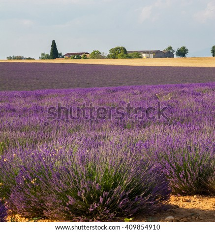 Landscape in Provence, blossoming purple lavender field at Valensole France