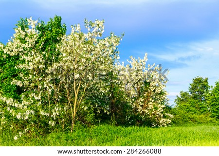 Landscape in spring time with blooming bush of Acacia at the forest edge. - stock photo
