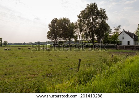 Landscape in the Netherlands with grass land and sheep and an old white plastered farmhouse at the end of a sunny day in summer. - stock photo