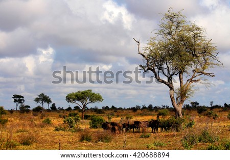 Landscape. Kruger National park.  Wild nature. Safari. Wild animals herd. Autumn in South Africa. Artistic retouching. - stock photo