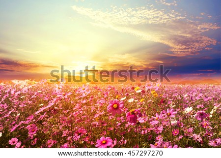 Landscape nature background of beautiful pink and red cosmos flower field with sunset. vintage color tone - stock photo