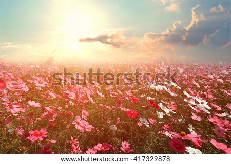 Landscape nature background of beautiful pink and red cosmos flower field with sunshine. vintage color tone - stock photo