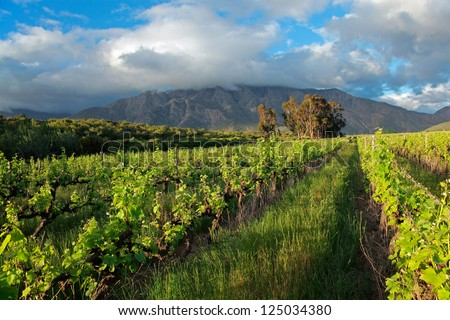 Landscape of a lush vineyard against a backdrop of mountains, Western Cape, South Africa - stock photo