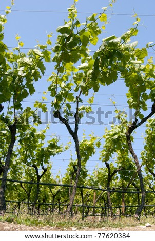 Landscape of an italian large vineyard - stock photo