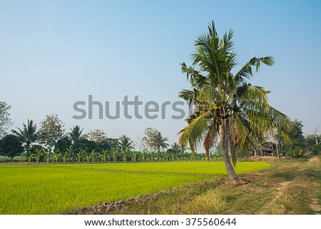 Landscape of coconut tree with rice field, rural scene in thailand.Agricultural concept.