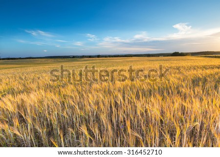 Landscape of corn field at summer. Beautiful polish countryside.