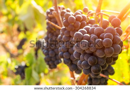 Landscape of countryside with vineyard at sunset light - stock photo