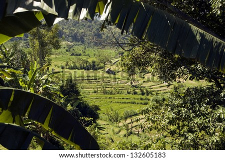 Landscape of Green paddy field in Bali, Indonesia with banana leaves at foreground