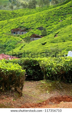 Landscape of green tea plantations. Munnar, Kerala, India