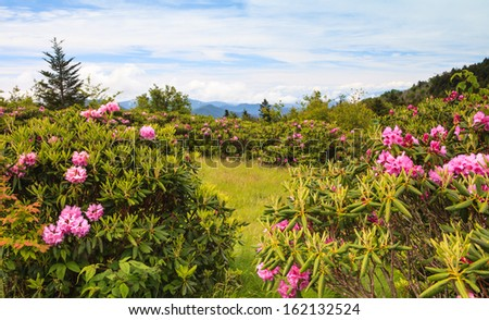 Landscape of mountain area with Catawba rhododendrons at Carvers Gap near border of North Carolina and Tennessee