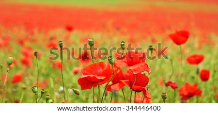 Landscape of poppies field of red flowers in Bulgaria