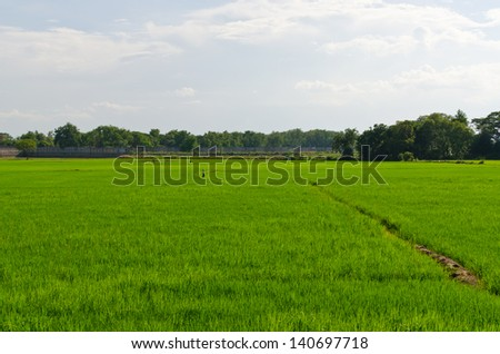 Landscape of rice field in Thailand