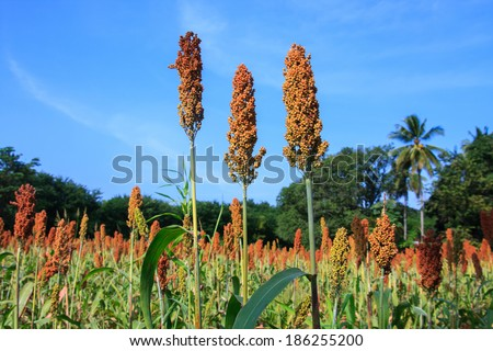 Landscape of sorghum field on a sunny day - stock photo