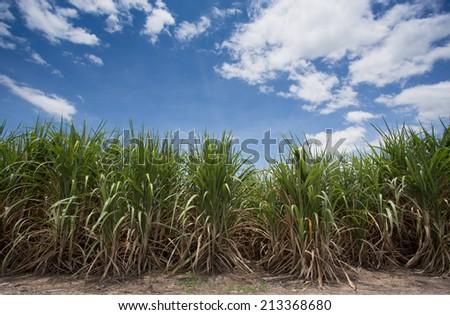 Landscape of sugar cane plantation - stock photo