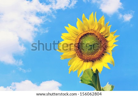 Landscape of sunflower against cloudy blue sky