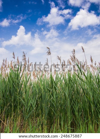 Landscape of tall green grass against a blue sky with white puffy clouds