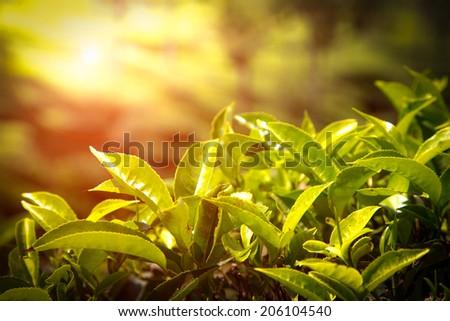 Landscape of the tea plantations in India, Kerala Munnar. Close up of tea leaves. - stock photo