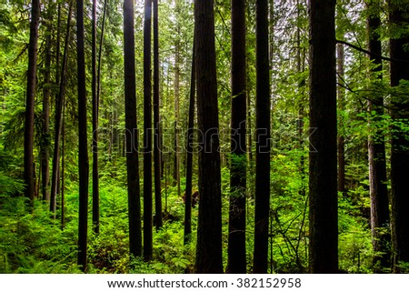 landscape of trunk of pines trees of a lush deserted green forest in the rocky mountains of british columbia canada, picture taken during on a hiking trail - stock photo