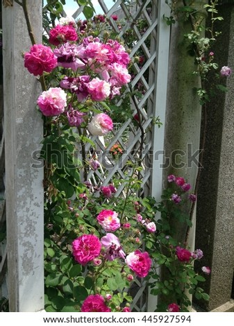 Landscape of white wooden fence by decorative climbing roses and colorful flower bushes - stock photo