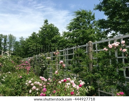Landscape of white wooden fense by decorative climbing roses